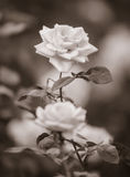 Sepia Photograph of Roses Stock Images