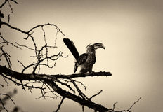 Sepia Picture of Southern yellow-billed hornbill Stock Image
