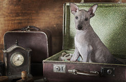 Sepia portret van een puppy Stock Foto