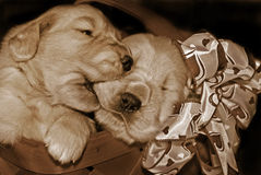 Sepia Pups Royalty Free Stock Photos