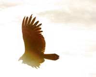Sepia Rainbow Vulture Stock Images