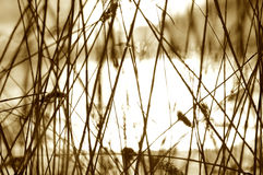 Sepia reeds  Royalty Free Stock Photo