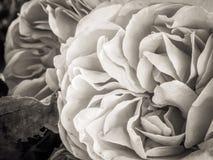 Sepia Rosa imagens de stock royalty free