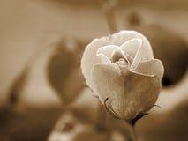 Sepia Rose imágenes de archivo libres de regalías