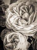 Sepia Rose Lizenzfreie Stockbilder