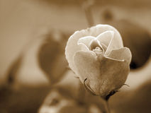 Sepia rose. Close-up photo of a rose in two-tone sepia Royalty Free Stock Images