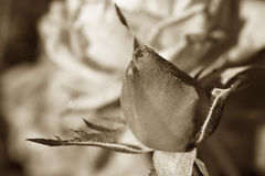 Sepia rosebud in the dew Stock Photography