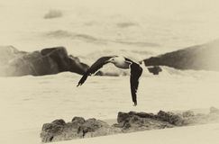Sepia Seagull Royalty Free Stock Images