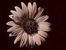 Sepia-Sonnenblume Lizenzfreies Stockfoto