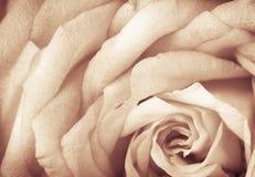 Sepia Tea rose. Sepia toned rose with grain, macro Royalty Free Stock Images