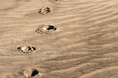 Sepia tone animal footprints on textured sand from Florida beach. Sepia tone; animal footprints on beach in Florida with wind patterns in the sand Royalty Free Stock Images
