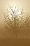 Sepia Tone Bare Walnut Trees Royalty Free Stock Image