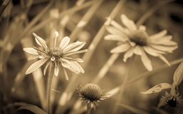 Sepia tone echinacea flowers Royalty Free Stock Photography
