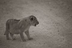 Sepia Tone image of distressed lion cub stock photography