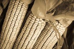 Sepia toned Autumn Corn Stock Images
