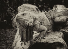 Sepia Toned Giant Iguana Head Stock Photo