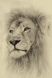 Sepia Toned Lion Face Stock Photography