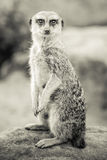 Sepia Toned Meerkat Sitting Up Royalty Free Stock Photo