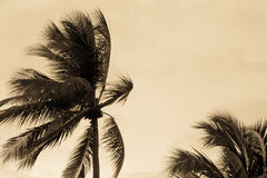 Sepia toned palm tree in the wind leaning away from the ocean du Stock Photo
