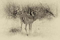 Sepia Toned Picture of Alert Impala Ewe Looking Backwards Royalty Free Stock Photo