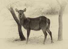 Sepia Toned Picture of Alert Waterbuck Listening Royalty Free Stock Images