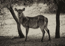 Sepia Toned Picture of Alert Waterbuck Listening Stock Photography