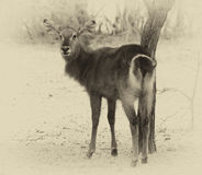 Sepia Toned Picture of an Alert Waterbuck Looking Backwards List Royalty Free Stock Images
