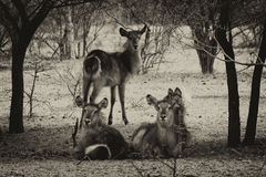 Sepia Toned Picture of Herd of Alert Waterbuck Listening Royalty Free Stock Photos