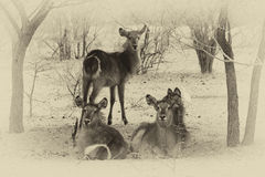 Sepia Toned Picture of Herd of Alert Waterbuck Listening Stock Photography