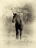 Sepia Toned Picture Young Foal Listening Tentatively Royalty Free Stock Photos
