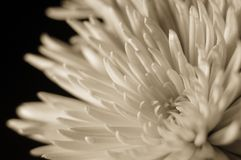 Sepia toned spider chrysanthemum. Spider Chrysanthemum sepia toned isolated on black shot at a shallow depth of feild Stock Photography