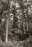 Sepia tonte Bäume Stockfotografie