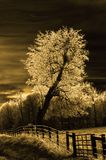 Sepia tree Royalty Free Stock Image