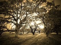 Sepia Trees. Rural Path through trees taken in Sepia Royalty Free Stock Photography