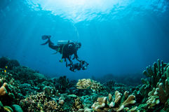 Sepia van Broadclubinktvissen latimanus in Gorontalo, Indonesië Royalty-vrije Stock Afbeelding