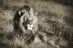 Sepia van de leeuw Stock Foto's