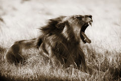 Sepia van de leeuw Stock Afbeelding