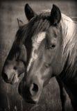 Sepia van wild paarden Stock Afbeeldingen