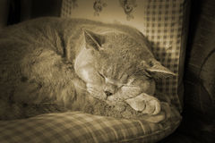 Sepia vintage sleeping cat Stock Image