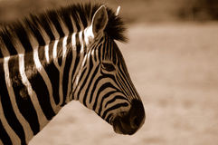 Sepia Zebra  Stock Photos