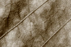 Sepiatonundeutlicher Makrohintergrund des trockenen Blattes, Fokus auf Mitte des Bildes Lizenzfreie Stockbilder