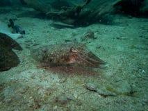 Sepiida bläckfisk Arkivbild