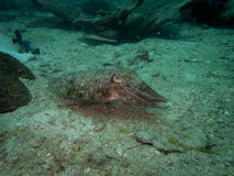 Sepiida cuttlefish Stock Photography