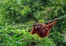 Sepilok猩猩 图库摄影