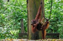 Sepilok orangutang arkivfoto