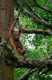 Sepilok orangutang arkivbilder