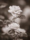 Sepiowa fotografia róże Obrazy Stock