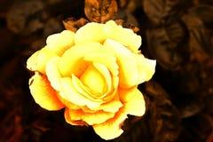 Sepiowa kolor żółty róża Obraz Royalty Free