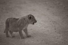 Sepiowy brzmienie wizerunek zakłopotany lwa lisiątko fotografia stock