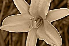 Sepiowy dnia lil Fotografia Stock